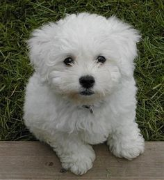 This face is why I have my Bichon Boodaboy!