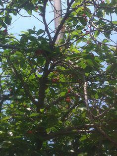 앵두나무...