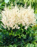 Jaloangervo Astilbe, Large Flowers, Flower Beds, Pastel Colors, Different Colors, Environment, Landscape, Kielo, Plants