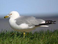 Ring-billed Gull: Breeding adult. Smaller & chunkier than Herring Gull