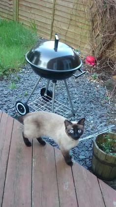 Lost Black White Cat Around Leeds  Area