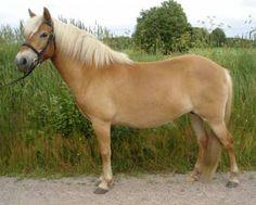 Gotland Pony - mare Stjärna T 4622 | Stuteri Norrgården