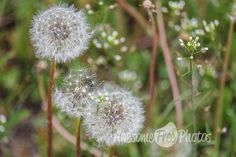 Free Stock Photo for Commercial Use - Dandelions in the Forest