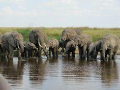 Elephants on safari