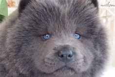 Dog Fact: While the Chow Chow dogs are well known for their distinctive blue-black tongues, they're actually born with pink tongues. They turn blue-black at 8-10 weeks of age.