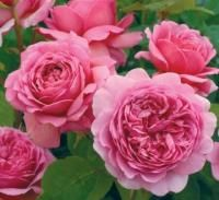 Princess Alexandra of Kent - Unusually large blooms of warm, glowing pink. The blooms are dense and deeply cupped, soft pink on the outer petals, with a warm pink center. Very pleasing.  Delicious fresh tea fragrance with overtones of lemon and blackcurrants. The bush is healthy and rounded. The rose has been the given the Fragrance Award in Glasgow Trials for 2009. The American Rose Society rated it in the top 10 Roses for 2012 with a 8.1.  Northland Rosarium - Roses by Class