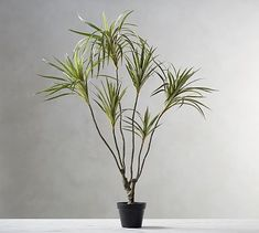Potted Fringe Palm.  i love this one, but it's only 4' tall.
