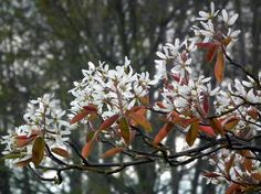Shadblow (Amelanchier x grandiflora) - makes list of most underrated trees - 3 seasons of color