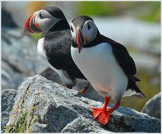 Puffins   Maine birding website