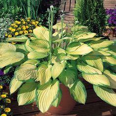 Hosta 'Gold Standard' If Hosta 'Gold Standard' is in the sun too long, the leaves will change from their golden color to a pale yellow, and they will become thinner. The sun can burn holes in the leaves as well as cause the leaves to turn brown and dry up.  - Parkers Wholesale