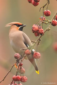 I love waxwings, they're my favorite animals besides Otters