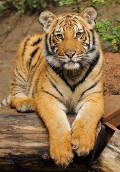 Aho Yaateeh — sdzoo: Then & Now: Malayan tiger, Connor. In the… Aho Yaateeh — sdzoo: Then & Now: Malayan tiger, Connor. Beautiful Cats, Animals Beautiful, Big Cats, Cats And Kittens, Animals And Pets, Cute Animals, Animals Images, Save The Tiger, Gato Grande