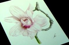 Painting Flowers in Colored Pencil