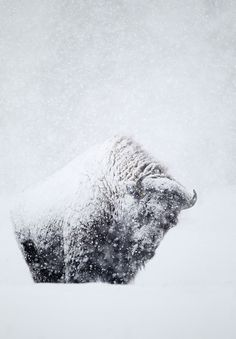 life is hard for the Buffalo...