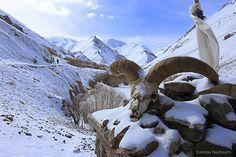 snow_leopard_1.jpg (1920×1280)