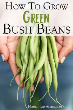 Gardening For Beginners I love growing green bush beans in my backyard garden! Come and see how to grow bush beans and tips for how to plant and care for beans for great harvests. They are the perfect vegetable to start growing for beginner gardeners. Winter Vegetables, Organic Vegetables, Growing Vegetables, Gardening Vegetables, Growing Green Beans, Growing Bush Beans, Planting Green Beans, Growing Onions, Genius Ideas