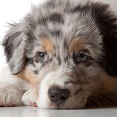 #AustralianShepherd #AussiePuppy #Aussie #puppy