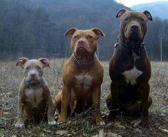 A family of pittbulls