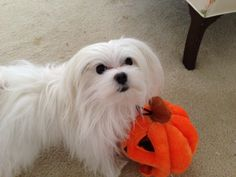 Alexander my Maltese loves Halloween