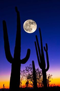 Moon over Saguaro cactus (Carnegiea gigantea) Tucson Pima County Arizona USA Canvas Art - Panoramic Images x Arizona Cactus, Desert Cactus, Desert Plants, Shoot The Moon, In The Moon, Full Moon, Desert Sunset, Arizona Usa, Tucson Arizona