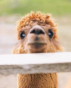 """""""This is my new rescue alpaca George. Isn't he cute?"""" Photo Credit: Oscar Nilsson. From 500px."""