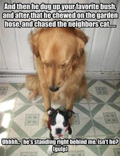 And then he dug up your favorite bush, and after that he chewed on the garden hose, and chased the neighbor's cat... Uhhhh.. he's standing right behind me, Isn't he? (gulp) ~ Dog Shaming shame - Boston Terrier and Golden Retriever
