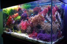 Anyone grow macro algae - Reef Central Online Community Seahorse Aquarium, Seahorse Tank, Coral Reef Aquarium, Nano Aquarium, Aquarium Design, Marine Aquarium, Aquarium Fish Tank, Saltwater Tank, Saltwater Aquarium