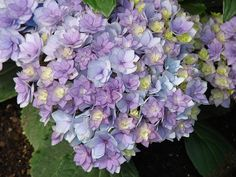 hydrangea 'Together' ~  Is this not gorgeous
