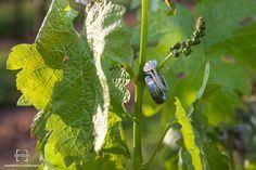 Elizabeth Larson Photography - the rings hanging on vines - Westbend Vineyards