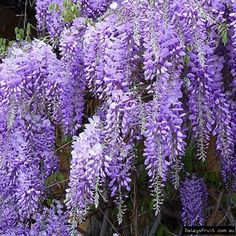 Wisteria compliments of ornamental trees