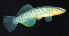 Northern Studfish (Fundulus catenatus)