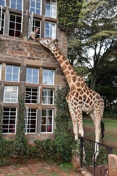 Afternoon Tea at Giraffe Manor, Nairobi, Kenya Nature Animals, Animals And Pets, Animals Images, Farm Animals, Beautiful Creatures, Animals Beautiful, Beautiful Cats, Cute Baby Animals, Funny Animals