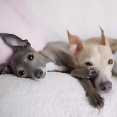 Italian Greyhounds.....only small dog I would consider loving(owning)