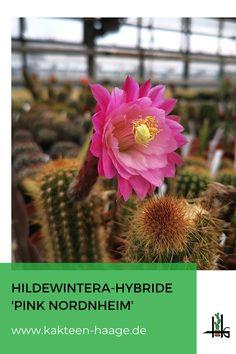Knallpink blüht diese Hildewintera-Hybride im Gewächshaus von Kakteen-Haage in der #Blumenstadt #Erfurt. Bald auch im Shop erhältlich! #HaageLife #ilovecactus #cactus #kaktus #blüte #Hildewintera