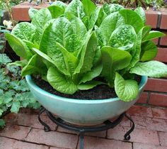 'Sweetie Baby Romaine' is a heat-tolerant selection that grows from 6 to 8 inches tall. Find the seeds at reneesgarden.com