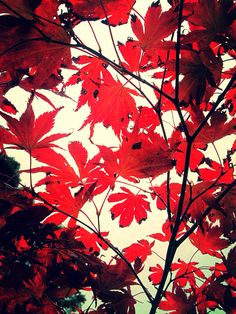 #autumn #leaves #red