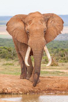 Bull Elephant, Elephant Love, Wild Animals Pictures, Funny Animal Pictures, African Elephant, African Animals, Elephants Photos, Baby Elephant Pictures, Baby Elephants