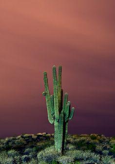 Sonoran Desert  | Sonoran Desert Flora