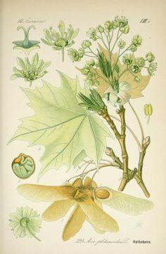 Ahorn, Maple, Prof. Dr. Thomé's Flora von Deutschland, Österreich und der Schweiz