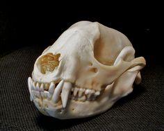 raccoon skull - Google Search