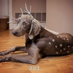 Oh Deer... This is so cute, but he/she looks like he's/she's not having it! Dog costume for Halloween too funny!
