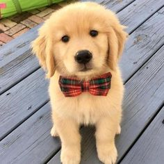 The Cutest Puppy Of The Day 17 pics is part of Retriever puppy - The Cutest Puppy Pictures You Would Ever See, a collection of 17 adorable pics Cute Dogs And Puppies, Baby Dogs, Pet Dogs, Doggies, Shitzu Puppies, Puppys, Puppies Tips, Labrador Puppies, Rottweiler Puppies