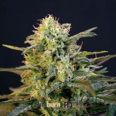 Mamba Negra Feminised Seeds by the cannabis breeder BlimBurn Seeds, is a Photoperiod Feminised marijuana strain.This Mostly Indica strain produces a High Indoor: 500 g/m2 - 700 g/plant  yield. These seeds finish in 9-10 weeks in mid October.This Feminised seed grows well in Greenhouse, Indoors, Outdoors conditions. Additionally it can be expected to grow into a Tall plant reaching 2-3m.This strain has Critical mass x Skunk Genetics. It has a Medium (10-15%) THC Content. The CBD content of…