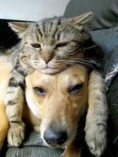 24 kissaa, joiden mielestä maailman paras nukkumapaikka löytyy koiran päältä | Vivas