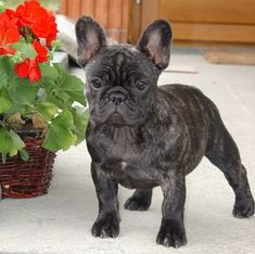 buldog francuski - French Bulldog