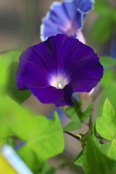 The Morning Glory flower can be used as inspiration for right shade of blue. They are so beautiful, I plant them every year!