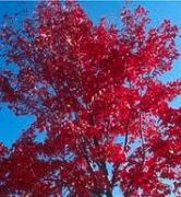 Red Maple - early fall color
