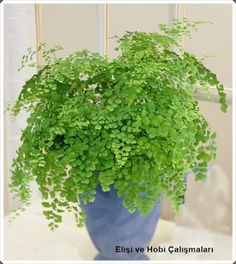 Maidenhair fern: They are ideal shade-loving plants, naturally growing in indirect sun. These plants adapts well to the smaller amount of light and thrives normally. To make your searching easier we've listed 17 best plants to grow indoors. Best Indoor Plants, Outdoor Plants, Outdoor Gardens, Indoor Ferns, Indoor Shade Plants, Best Plants, Indoor House Plants, Indoor Flowers, Indoor Planters