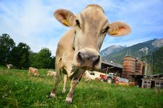 Mondjunk nemet a marhahúsra? / Shall we say no to the beef? Forrás/Source: Pixabay
