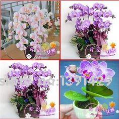 [Visit to Buy] hydroponic orchid seeds,indoor flowers bonsai four seasons,Phalaenopsis Orchids - 100 pcs seeds #Advertisement